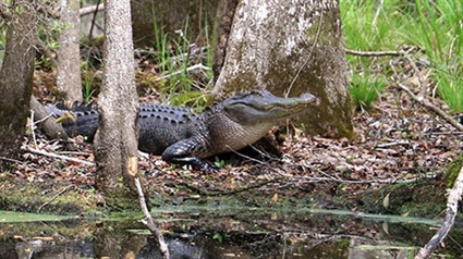 Wildlife Commission Extends Application Period to June 1 for Alligator Population Reduction Hunts