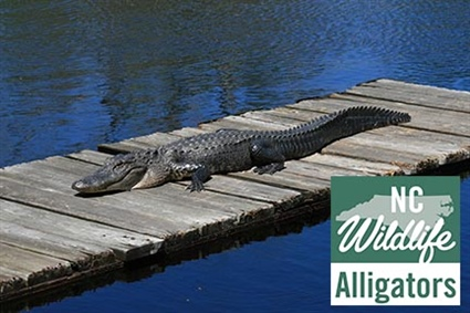 Wildlife Resources Commission Provides Tips to Coexist with Alligators