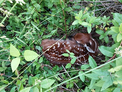 """Don't Touch that Fawn"" Says Wildlife Commission"