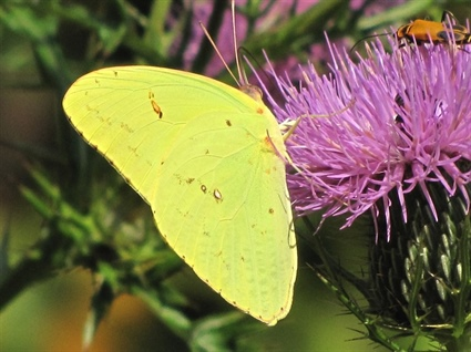 Volunteers Needed for Butterfly Count on Sandy Mush Game Land